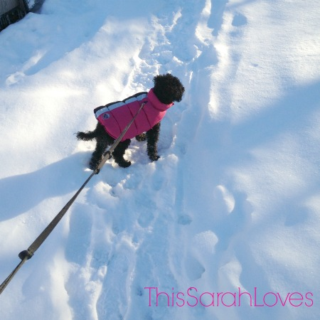 Walking in the Snow #penelopepoodle #thissarahloves