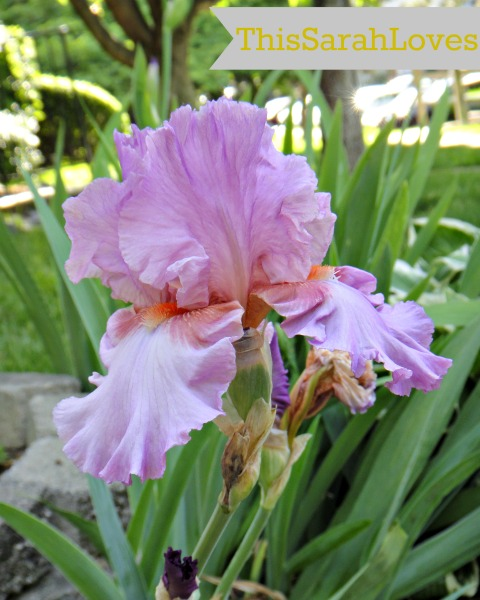 Front Yard - Bearded Iris